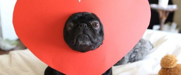 this_pug_loves_you